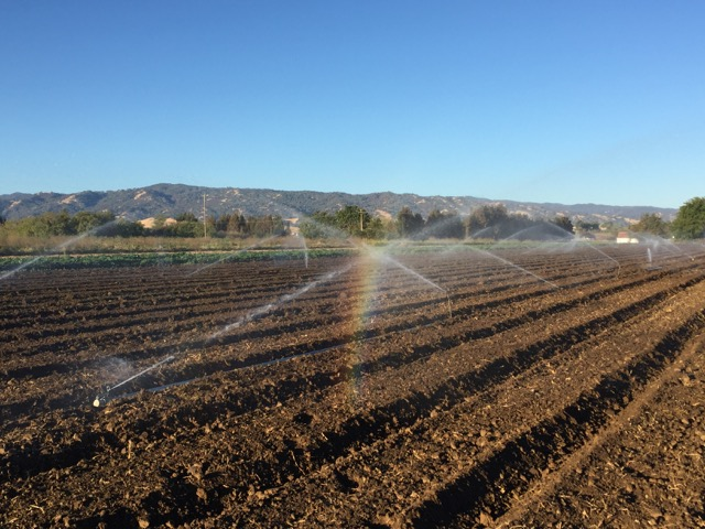 Shape beds and pre-irrigate.