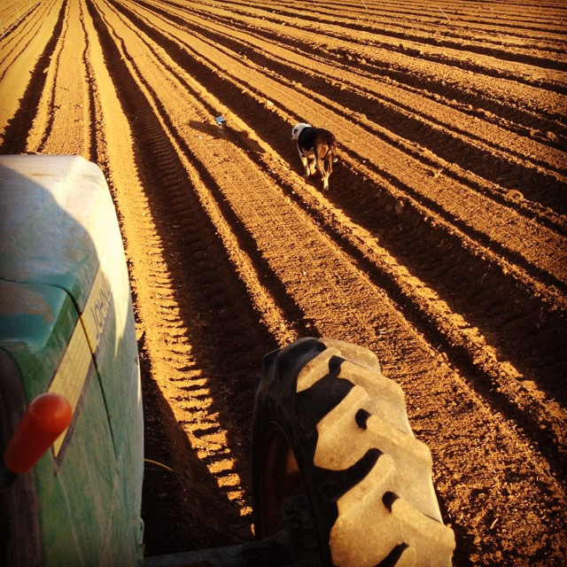 Seed Carrots.  The best crops have dogs to guide the way.