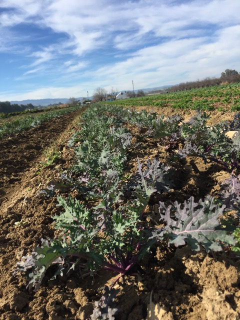 Red Russian Kale - next week's box!