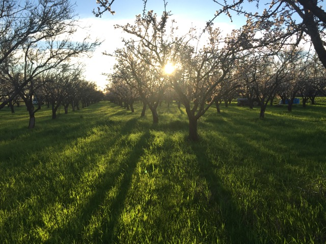 Beautiful morning in the almonds.