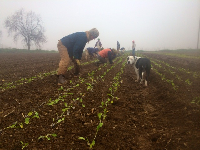 Foggy mornings make for ideal transplanting conditions.