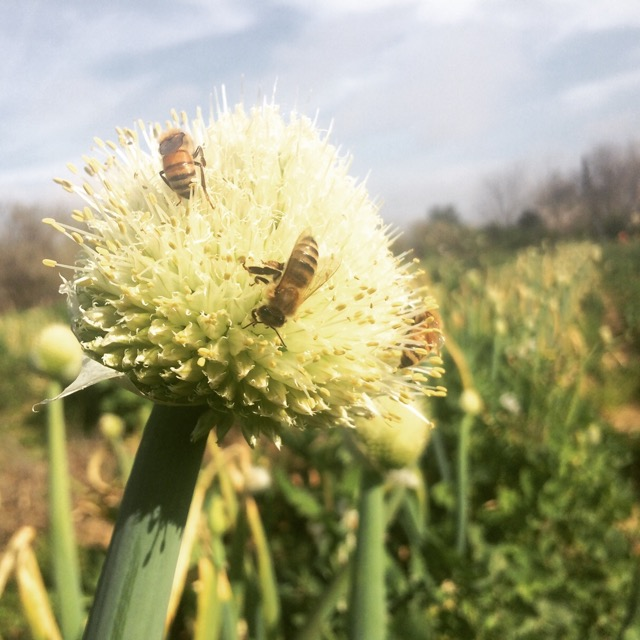 Bees enjoying the flowering onions.
