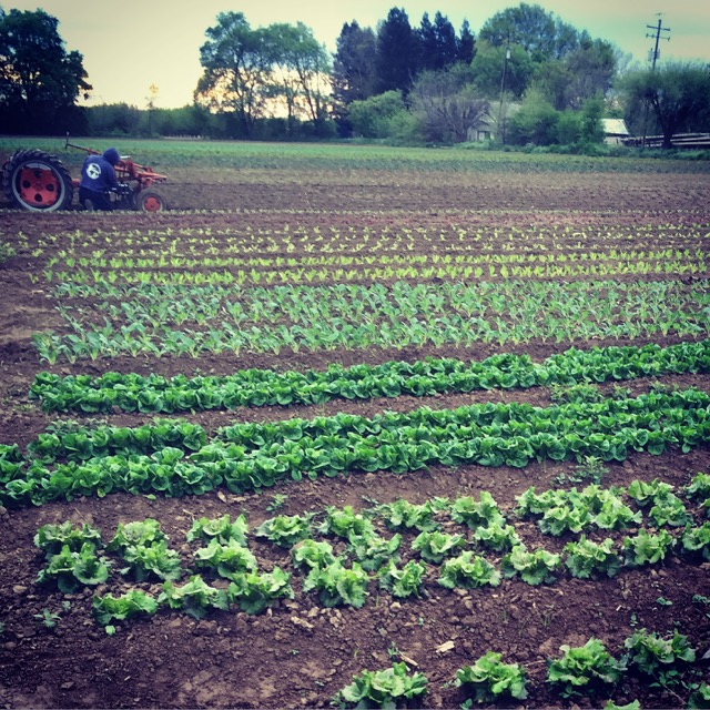 Our electric tractor cultivating the fields.  (I see lettuces in the CSA box future!)