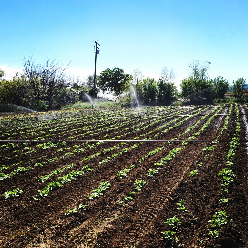CSA potatoes are up and had their first pass hilling!