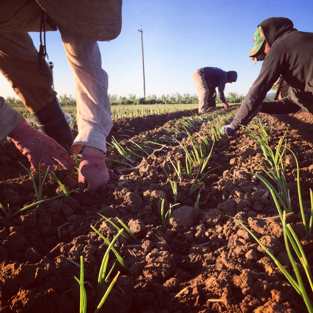 Planting summer's shallots and onions.