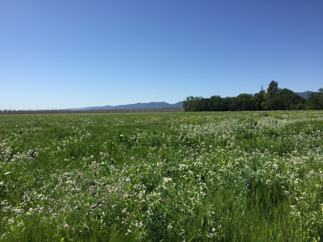 A sight to behold, every morning. The flowering cover crop.