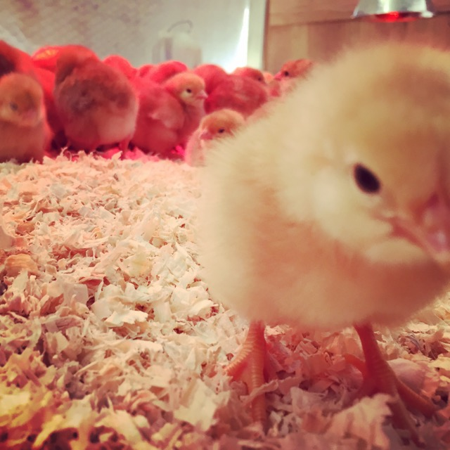 Welcome to Say Hay little chick! We source our chicks from Vega Farms in Davis and have them drinking yogurt tonics within hours of hatch.