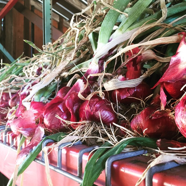 After maturing in the field, onions need time to cure in a well ventilated, shaded space like these racks in our barn.  This allows the skins to set and tops to dry down for better storage and flavor.