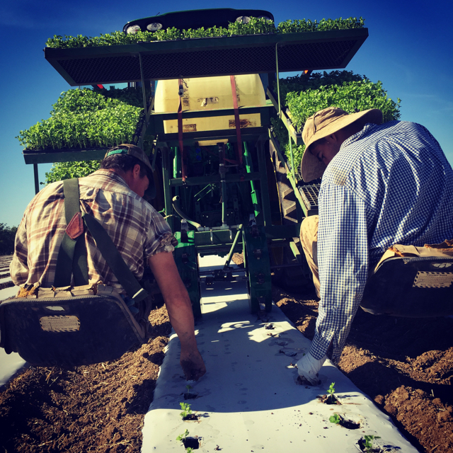 "Dusty & Ruben plant celeriac with the ""water wheel"" transplanter, loaned to us by Full Belly Farm."