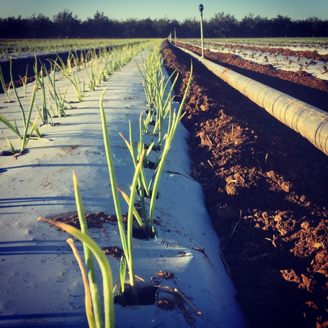 Young bunching onions slated for Thanksgiving.