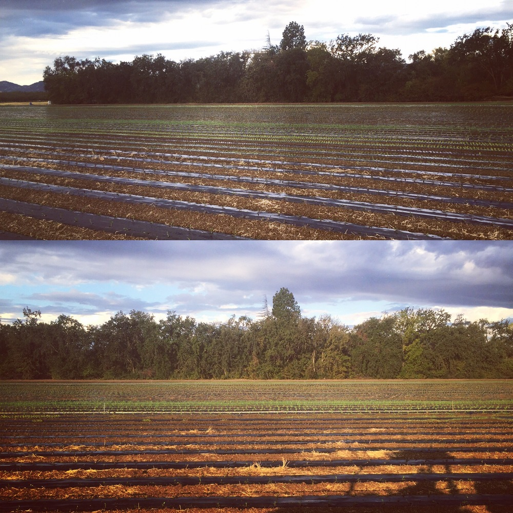 Saturday morning's weather was perfect for transplanting: lightning storms in the dark and light sprinkling rain at dawn. Feels like fall.