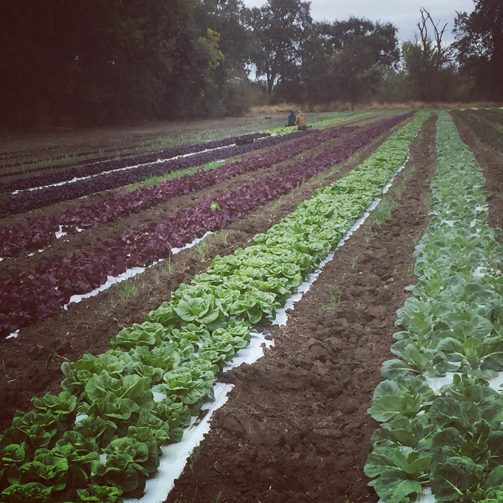 Harvesting your lettuce on a balmy day.