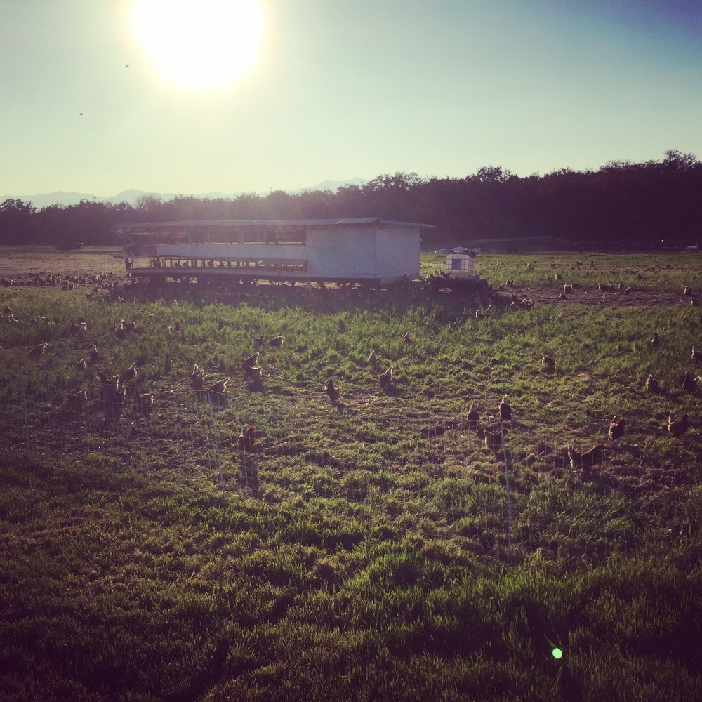 Fall afternoons with the chickens, foraging.
