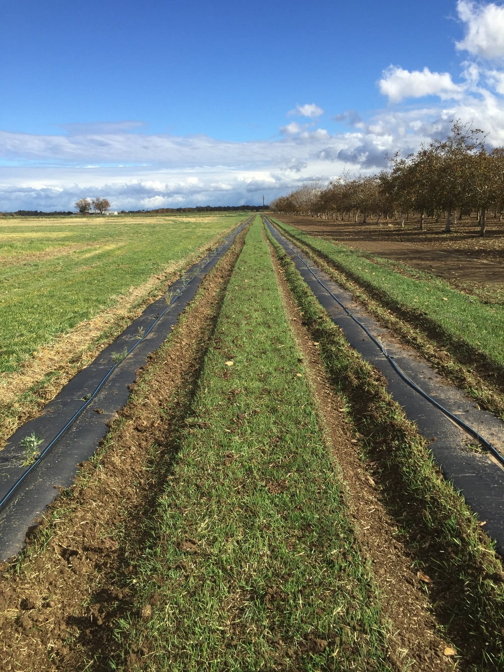 The plants are small and hard to see, but we see a beautiful future here for our hedgerow.  These two lines are over 1/4 mile long and contain 21 species of