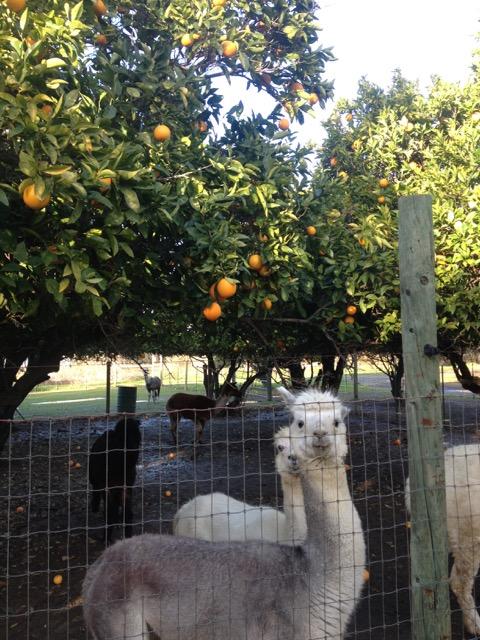 The alpacas.