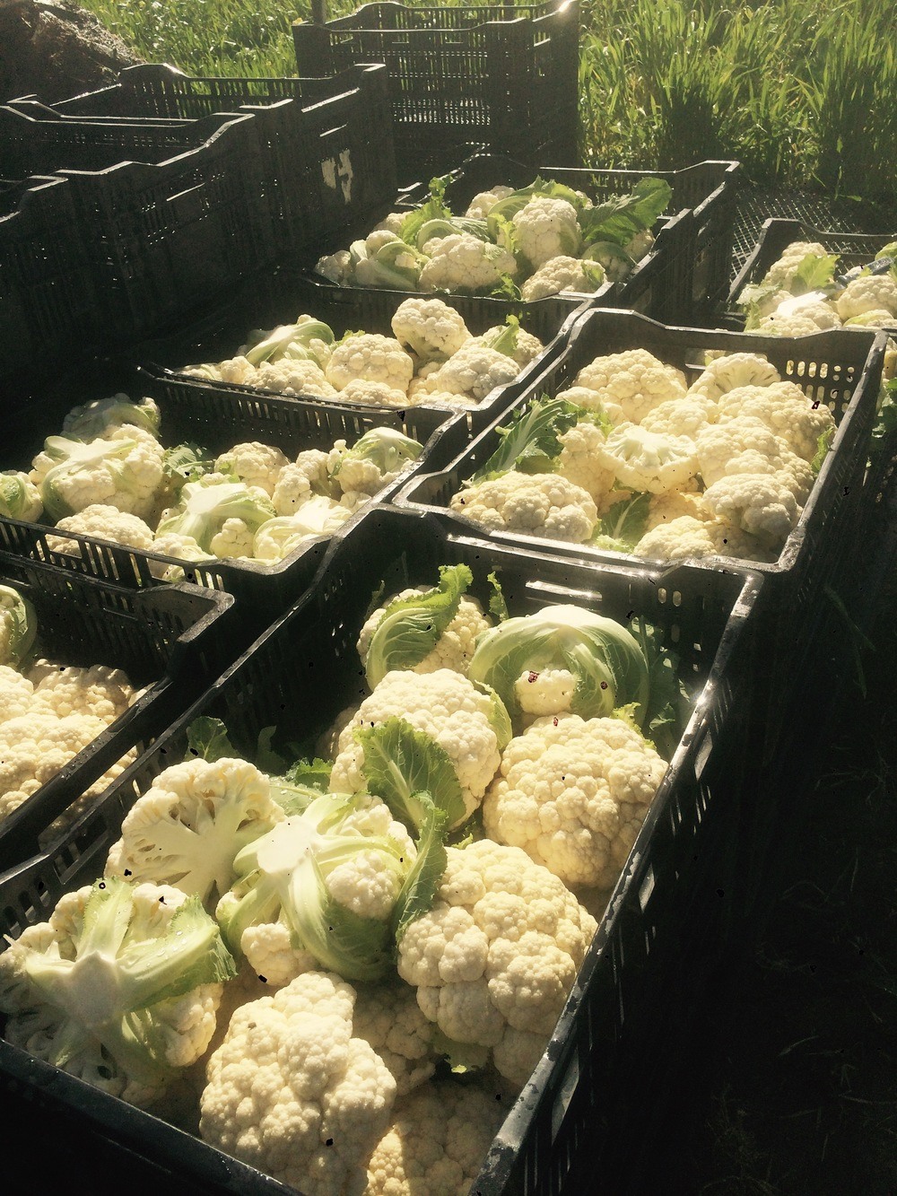 CSA cauliflower harvest
