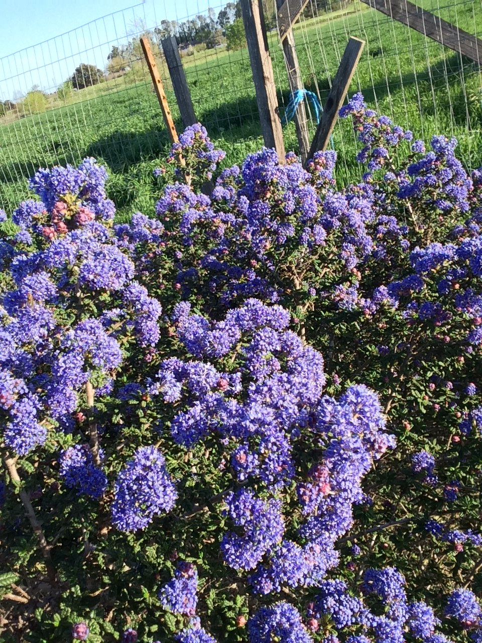 'Blue Blossom' Ceanothus blooming in our first hedgerow.  This native is a beautiful refuge for natives and beneficials.