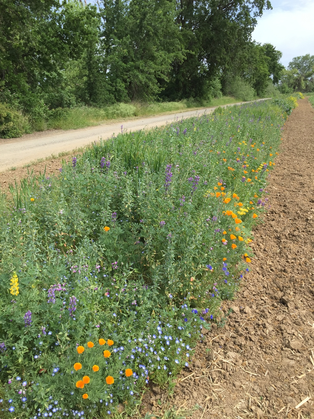 I've yet to get a photo that captures the beauty and magnitude of the pollinator strip.