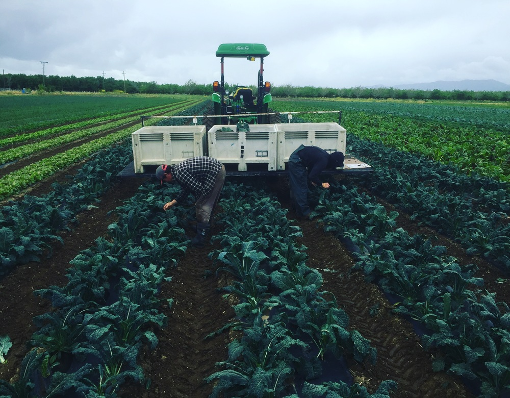 Using our harvest platform and a creeping tractor to efficiently harvest lacinato kale.