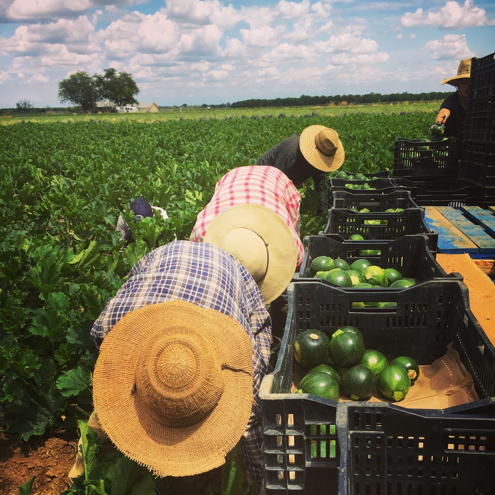 For the month of June, we harvest our squash fields Monday through Saturday. Many hands make light work.