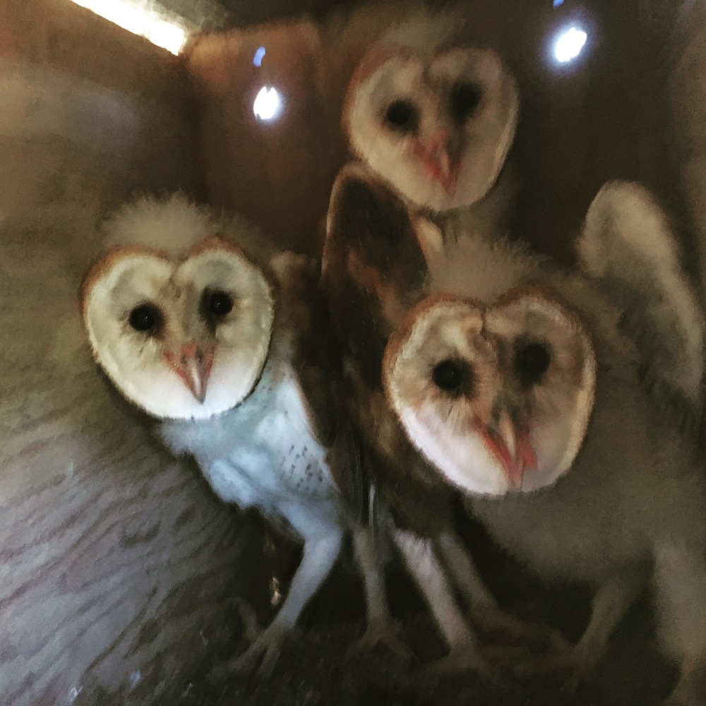 Checking in on our young owls.  So grown up!