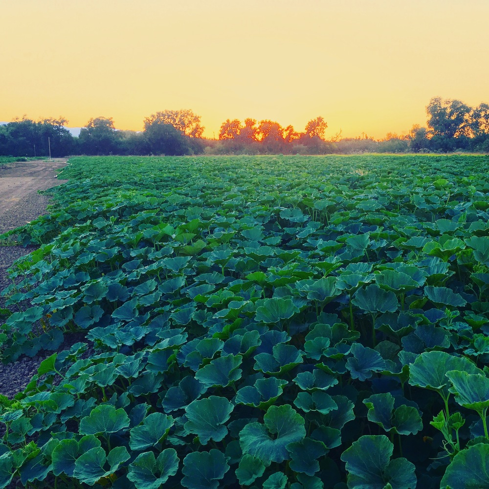 Our winter squash field at sunset.
