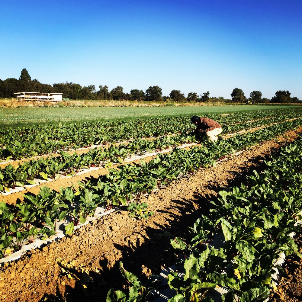 Sean pulling the first bunch of 2016 beets.