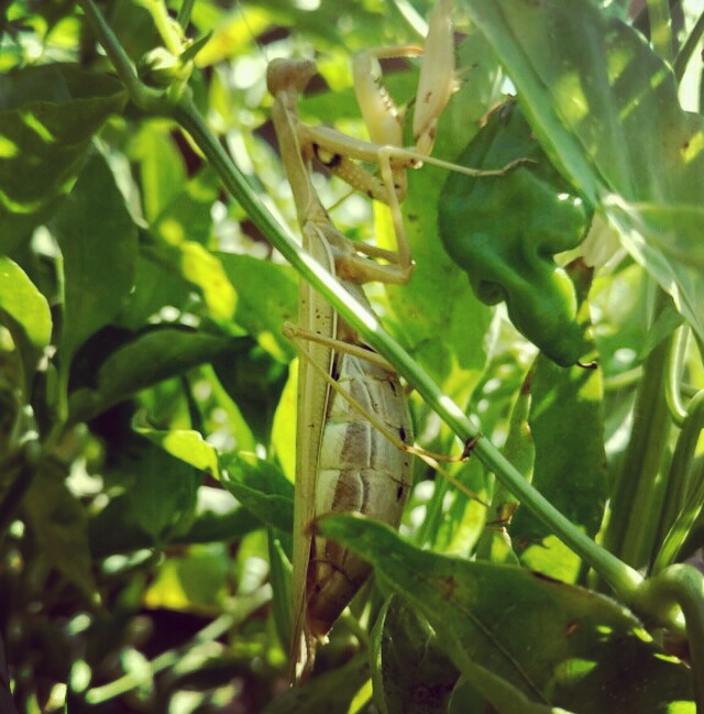 Praying mantis all over the farm!