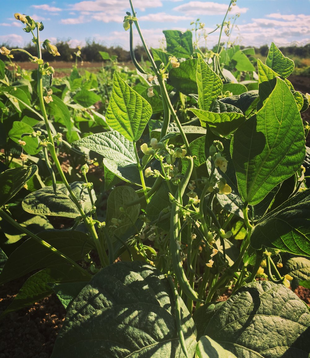 A sneak preview to a CSA exclusive green beans.  This year's crop is looking mighty fine!