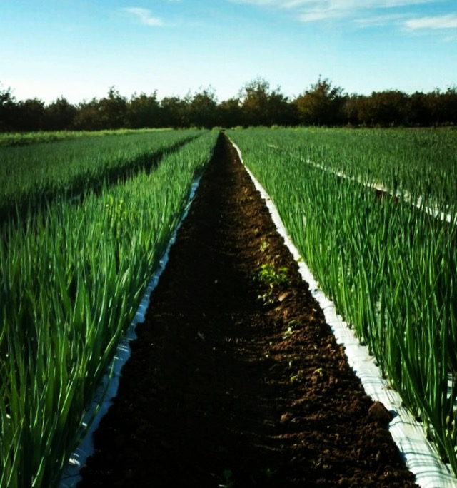 Spring onions looking might fine, thanks to the work of our crew - lead by Field Manager Mac.