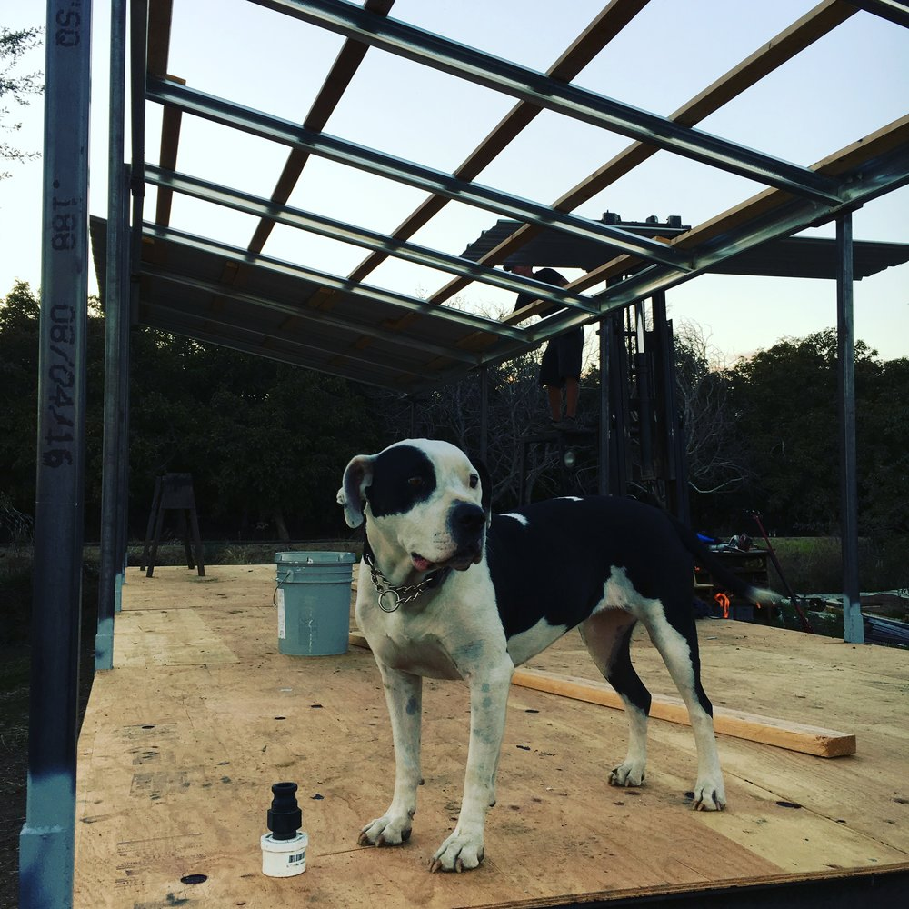 We're working on building all new re-designed super-strong coops based on our past six years of experience. This girl, Clover the farm dog, was there for the construction of the first coop.  She may be seven years old now, but she's still got it. You go girl.