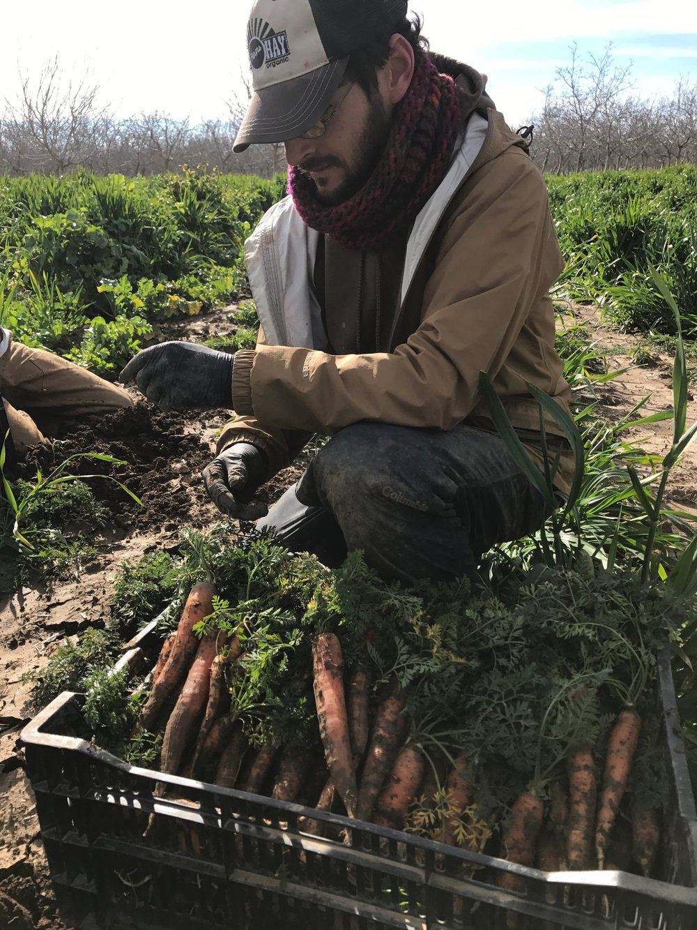 Farmer Sean Mooney digging in to get those overwintered carrots.