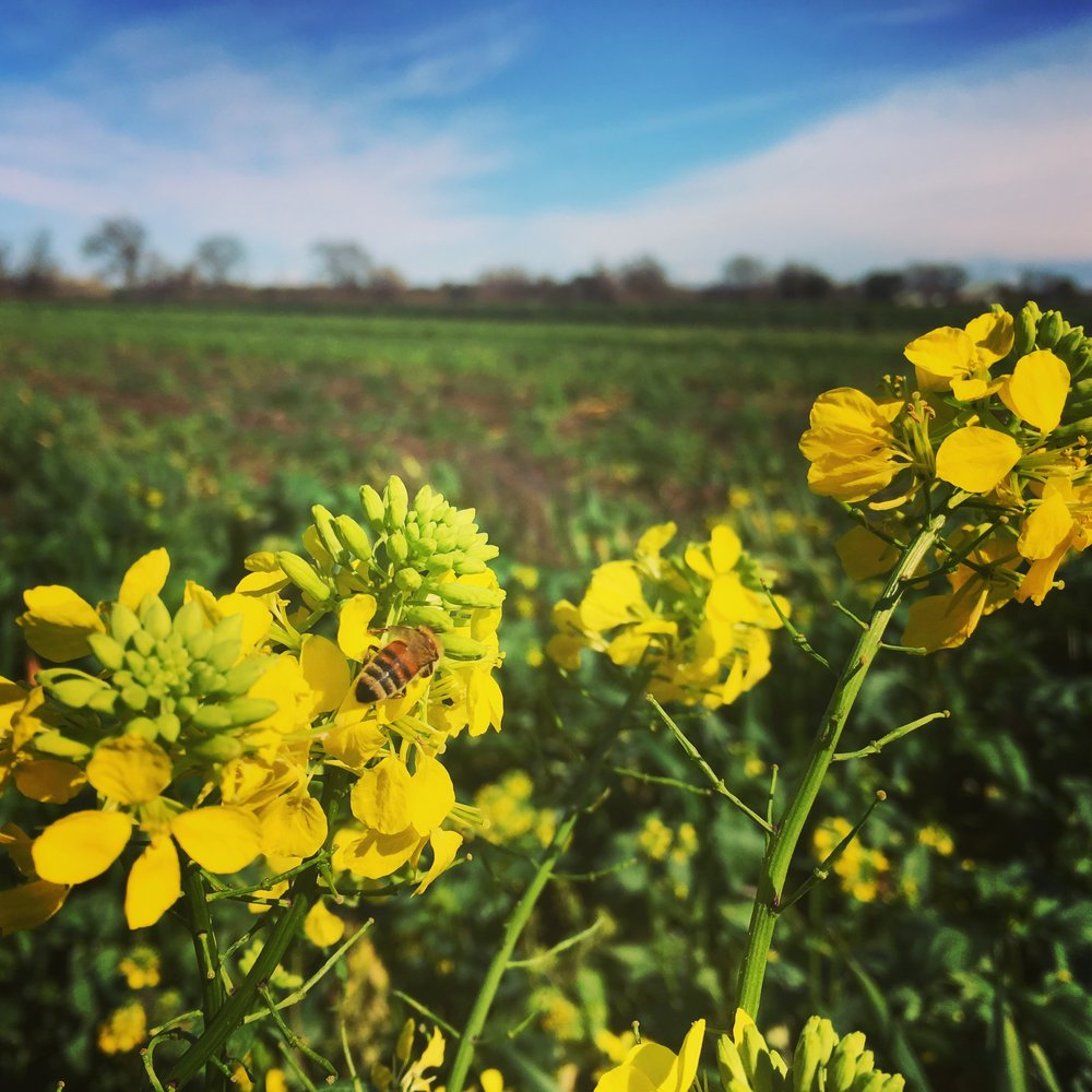 As the sun came out, the wild mustards came alive with buzzing bees.