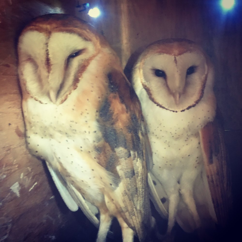 Two of our three owl boxes already have mating pairs for the season!