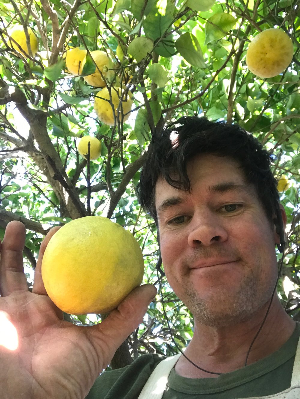 Farmer Dusty picking yellow grapefruit.