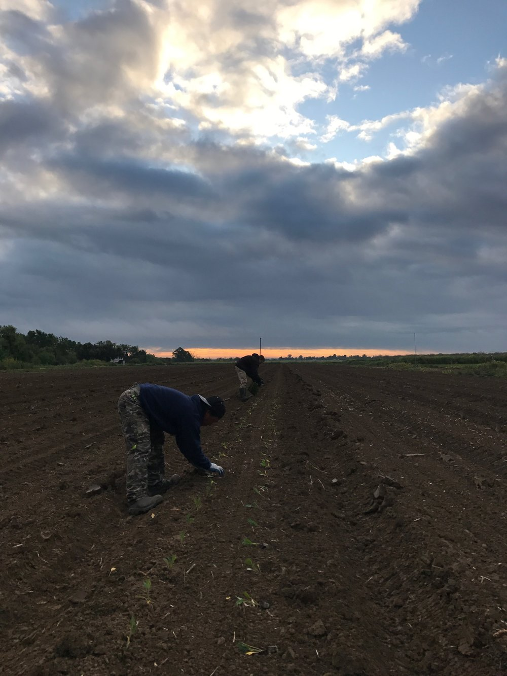 With the wet weather, we've turned to planting by hand for the first time in years!