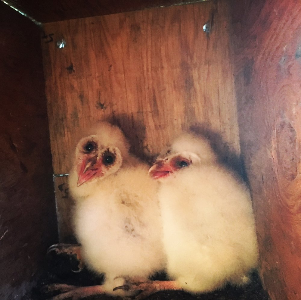The challenge of control: these baby barn owls will consume hundreds or thousands of rodents from our field this summer, thanks to the hard work of their mother.