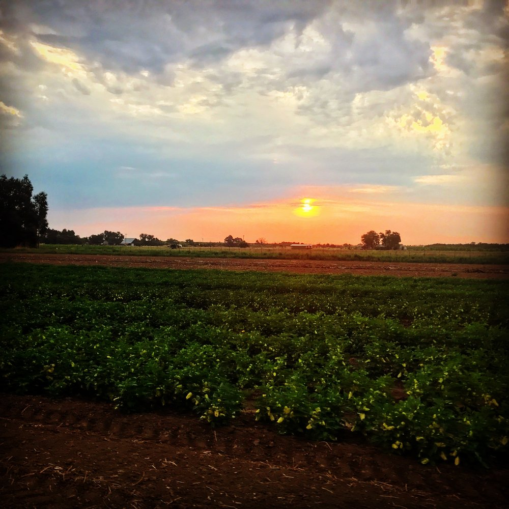 Beautiful sunrise over our fields during this week of welcome cooler weather and occasional overcast.