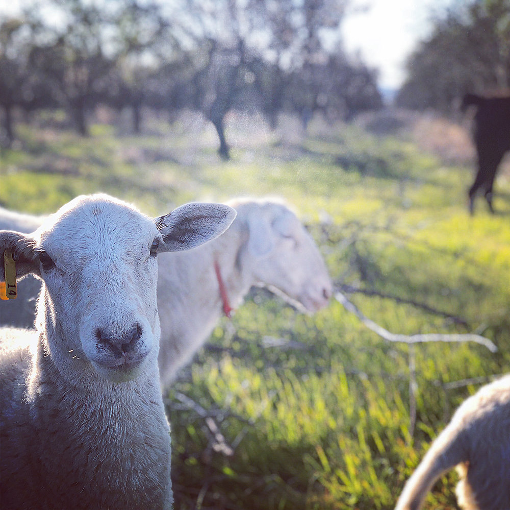 So happy to see these sheep and guardian llama in our old 4.5ac almond orchard. 🙏 Christian at  Perennial Grazing Collective