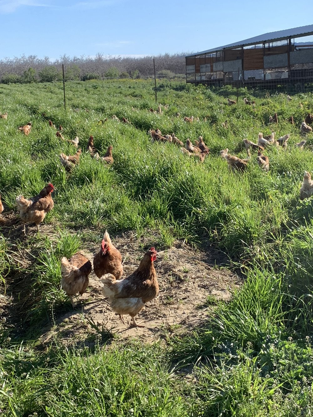 Chickens in an old field of greens