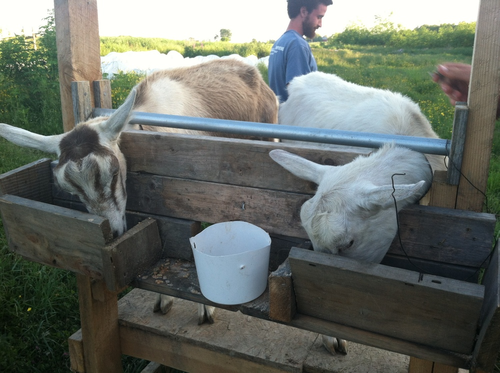 wild folk farm goats