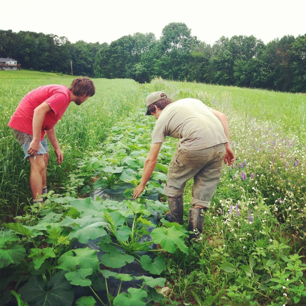Matt and Andy checking in with the squash & weeding