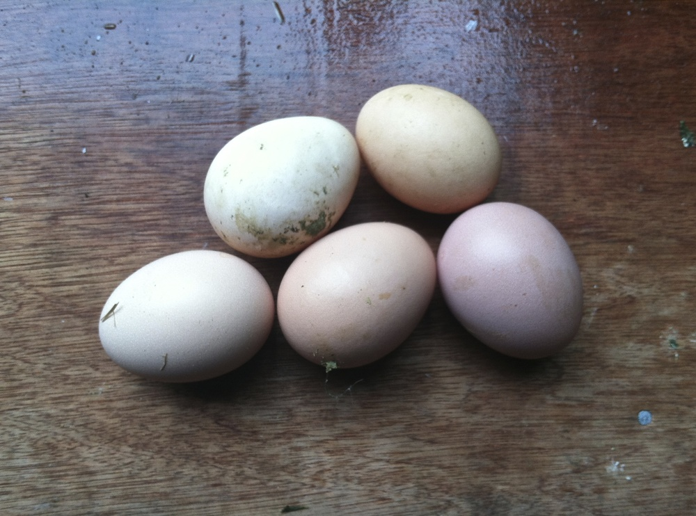Some of the first box laid eggs. always lovely.
