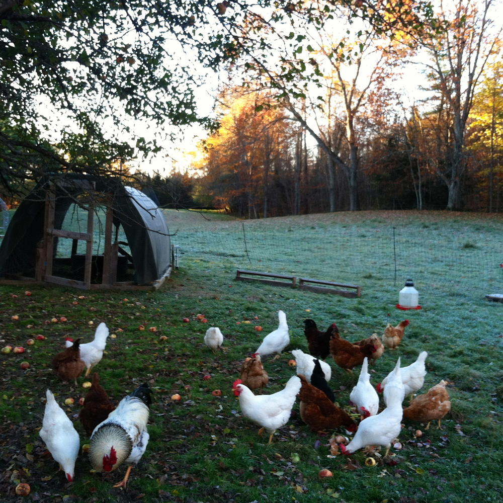Hard frost & chickens in their new spot under the apple tree.
