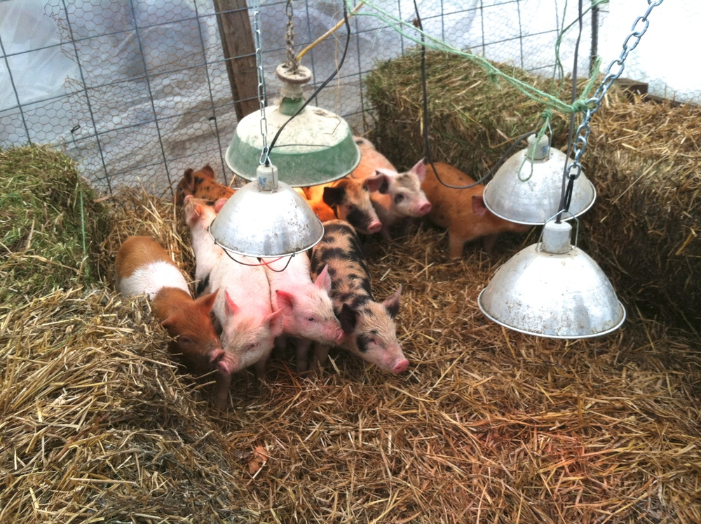 These pig babies arrived shortly after Linus.