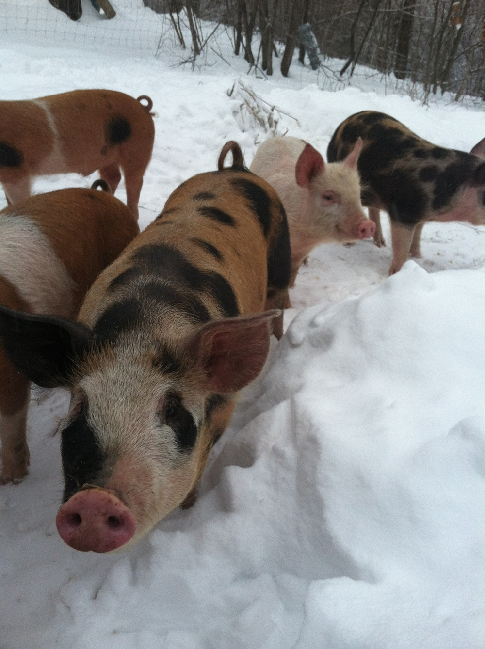 Snow pigs. This fella is always in front.