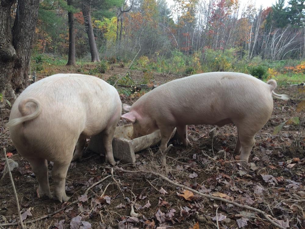 woodland pig tails