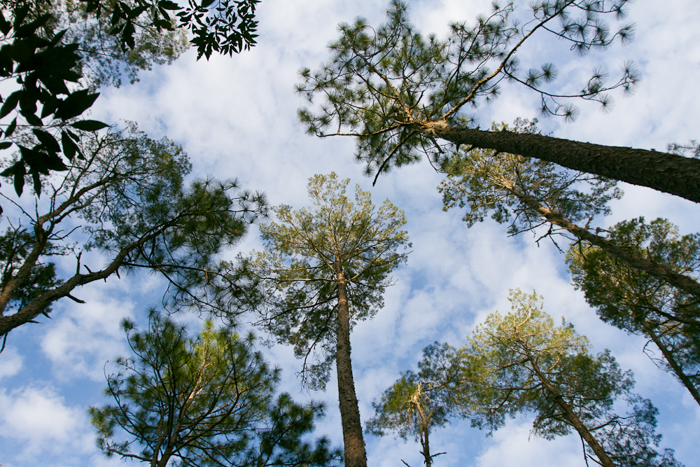 florida-pines