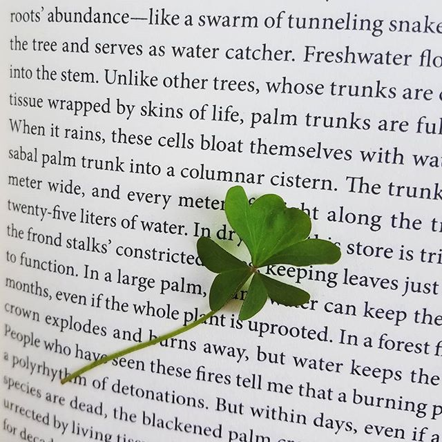 Almost four-leaf #woodsorrel! This is what my parents snacked on as kids in the streets and parks of Guangzhou when sweets were hard to come by. It's quite zingy! #oxalisstricta #notaweed