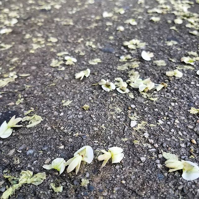 Tread softly. Street tree life is hard, most of the pagoda tree's offerings are washed away in polluted stormwater instead of returning to the soil around it. Keep blooming but acknowledge the concrete/asphalt barriers in the way of nourishing and deepening your growth. #plantteachers #pagodatree #streetlife